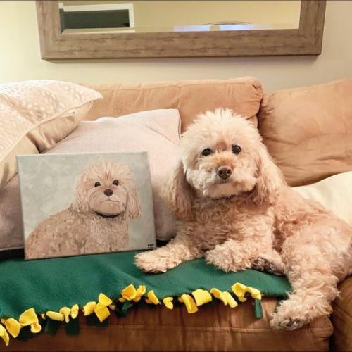 poodle Dog Pet Portrait